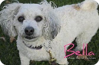 Poodle (Miniature)/Spaniel (Unknown Type) Mix Dog for adoption in Hamilton, Ontario - Bella