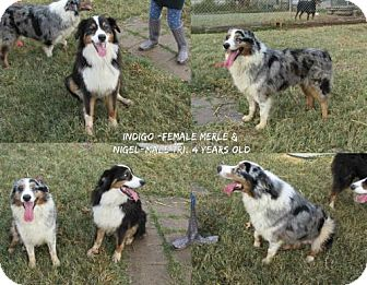 Australian Shepherd Dog for adoption in Ponca City, Oklahoma - Indigo