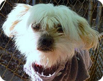 Chinese Crested Dog for adoption in Anderson, South Carolina - CLINK