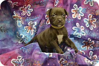 Labrador Retriever Mix Puppy for adoption in Alexandria, Virginia - Hershey (Chocolate Crew)