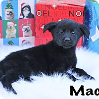 Adopt A Pet :: Mac - Colmar, PA