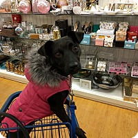 Patterdale Terrier (Fell Terrier) Mix Dog for adoption in Ridgefield, Connecticut - Jada