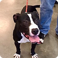 Adopt A Pet :: Emory-URGENT - Springfield, MA