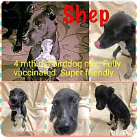 Adopt A Pet :: Shep - New Haven, CT