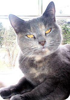 Domestic Shorthair Cat for adoption in Berkeley Hts, New Jersey - Bridgett  (URGENT PLEA)