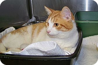 Domestic Shorthair Cat for adoption in Dover, Ohio - Bob