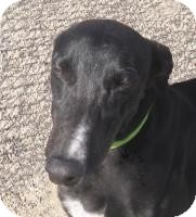 Greyhound Dog for adoption in Tucson, Arizona - Andy