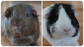 Guinea Pig for adoption in Brooklyn Park, Minnesota - Carly & MooMoo
