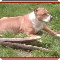 Pit Bull Terrier Mix Dog for adoption in Calumet City, Illinois - Darla....In Memory