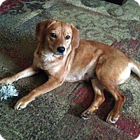 Adopt A Pet :: Ginger - Knoxville, TN