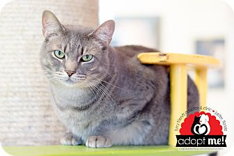Domestic Shorthair Cat for adoption in Jupiter, Florida - Grizz