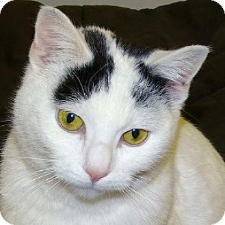 Turkish Van Cat for adoption in Mt. Vernon, New York - Victoria