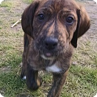 Adopt A Pet :: River - Richmond, VA