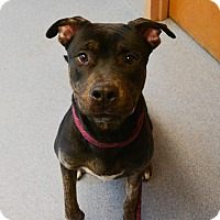 Adopt A Pet :: Shadow - Bay Shore, NY