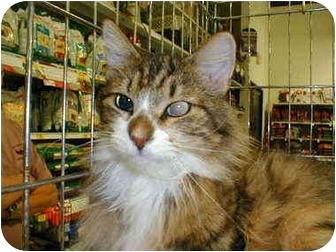 Domestic Longhair Cat for adoption in Proctor, Minnesota - Benjamin