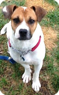 Boxer Mix Dog for adoption in Birmingham, Michigan - SQUIRT