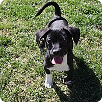 Adopt A Pet :: Shakespeare - Henderson, NV