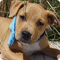 Adopt A Pet :: Foreman - Holly Springs, NC
