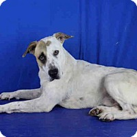 Adopt A Pet :: A023849 - Norman, OK