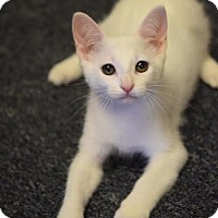 Domestic Shorthair Cat for adoption in DFW Metroplex, Texas - Newman