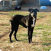 Adopt A Pet :: Ozzie - Aurora, CO