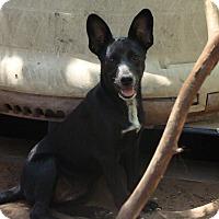 Adopt A Pet :: Iris - Blanchard, OK