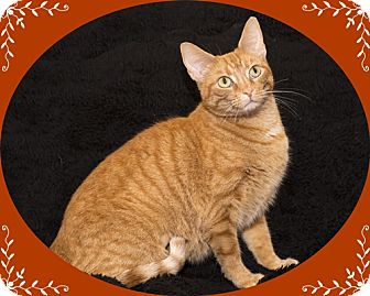 Domestic Shorthair Kitten for adoption in Mt. Prospect, Illinois - Pumpkin