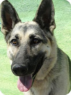 German Shepherd Dog Dog for adoption in Vacaville, California - Koda