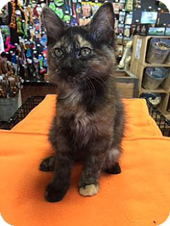 Domestic Longhair Kitten for adoption in McKinney, Texas - Cecilia