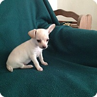 Chihuahua Puppy for adoption in Shannon, Georgia - Candy