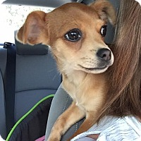 Chihuahua/Terrier (Unknown Type, Small) Mix Puppy for adoption in Fort Mill, South Carolina - Alfie