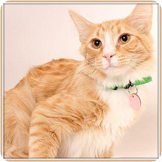 Domestic Mediumhair Cat for adoption in Glendale, Arizona - Ferdinand