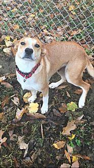 Labrador Retriever Mix Dog for adoption in Rockville, Maryland - Hadley