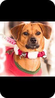 Beagle/Basset Hound Mix Dog for adoption in Ashburn, Virginia - Dallas