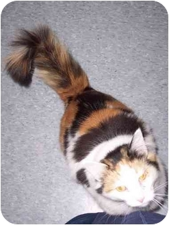 Domestic Longhair Cat for adoption in Delmont, Pennsylvania - Maui