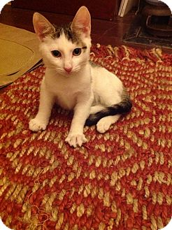 American Shorthair Kitten for adoption in Brooklyn, New York - Yang