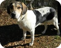 Beagle Mix Dog for adoption in Washington, D.C. - Bowser