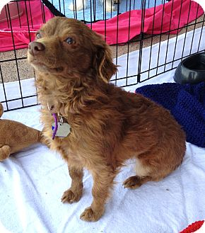 Terrier (Unknown Type, Small)/Chihuahua Mix Dog for adoption in Phoenix, Arizona - Samantha