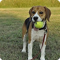 Adopt A Pet :: *Watson - PENDING - Westport, CT