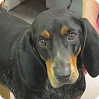 Adopt A Pet :: Cool Hand Luke - Brattleboro, VT