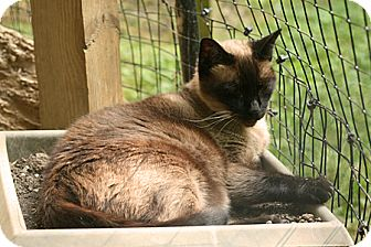 Siamese Cats For Adoption In Maryland
