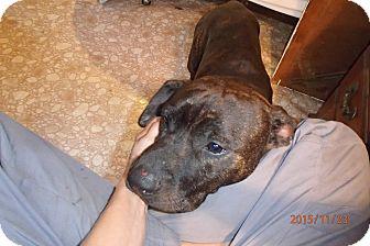 Pit Bull Terrier/Labrador Retriever Mix Dog for adoption in Malabar, Florida - Chance
