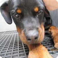 Adopt A Pet :: Joker - Douglasville, GA