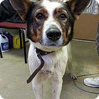 Adopt A Pet :: BRUNO - Cadiz, OH