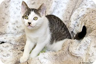 Domestic Shorthair Cat for adoption in St Louis, Missouri - Frederick