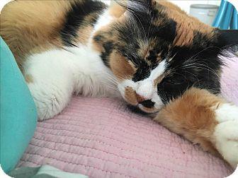 Domestic Longhair Cat for adoption in Pasadena, California - Jjing Jjing (JJ)