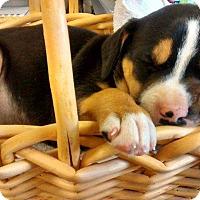 Adopt A Pet :: Mona - North Ridgeville, OH