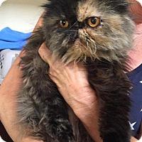 Adopt A Pet :: Annabelle - Beverly Hills, CA