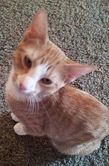Domestic Shorthair Kitten for adoption in Alva, Oklahoma - Gideon 1505