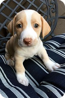 Basset Hound Mix Puppy for adoption in Pennsville, New Jersey - SAMANTHA - ADOPTION PENDING!